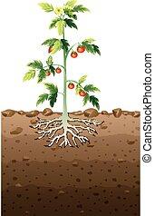 souterrain, plante, racine, tomates