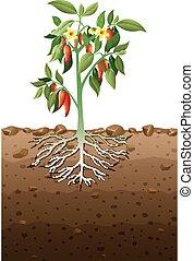 souterrain, racine, plante, cayenne
