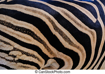 south africa kruger wildlife nature reserve and wild zebra ...