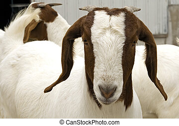 A young female South African Boer goat.