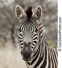 South African Burchell's Zebra - a lone African Burchell's...