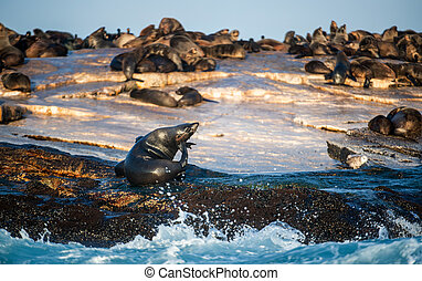 South African Cape fur seals colony. Sunrise at Seal Island. Scientific name: Arctocephalus pusillus pusillus.  False Bay, Western Cape, South Africa, Africa.