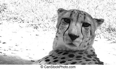 South African Cheetah face up close and personal. The...