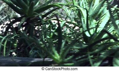 South African cheetah walking in the Savannah. The cheetah...