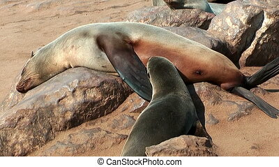 south african fur seal feeding baby