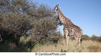 Beautiful South African giraffe feeding on acacia tree in african bush, Moremi Game reserve Botswana, Africa safari wildlife