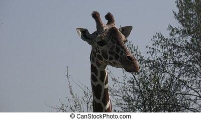 South african giraffe on safari park
