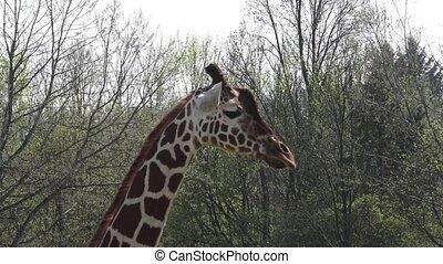 South african giraffe walking on safari park