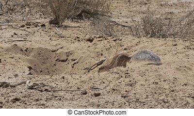 South African ground squirrel Xerus inauris,with tail,...