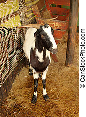 South African Indigenous Veld Goat - Picture of a South...