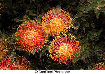 South African Leucadendron Bloom - Brilliant Orange Blossom...