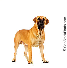 South african mastiff, isolated on white