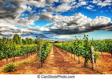 Grape fields landscape, winery garden with blue sky, beautiful agricultural scene on harvest season, grapes valley at fall, vineyard industry of South Africa