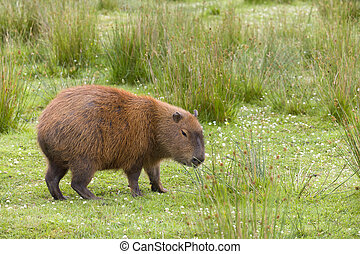 South American Capybara or hydrochaeris is the largest...