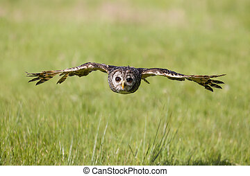 South American Chaco owl flying low over grasslands