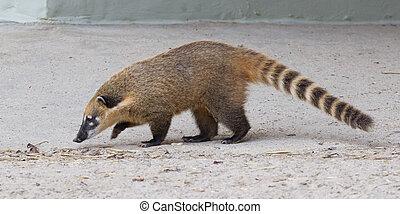 South American coati (Nasua nasua), also known as the ring-tailed coati