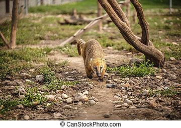 South American Coati on the edge