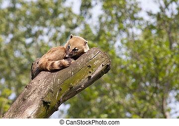 South American coati or ring-tailed coati (Nasua nasua)...