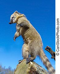 South-American coati (Nasua nasua) gymnastic on a tree log