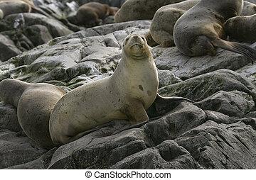 South American fur seal (Arctocephalus australis) - South...