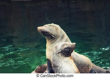 South American fur seal - The South American fur seal...