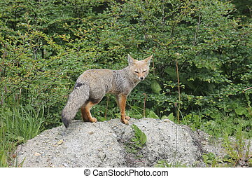 South American gray fox (Lycalopex griseus) in argentinian...