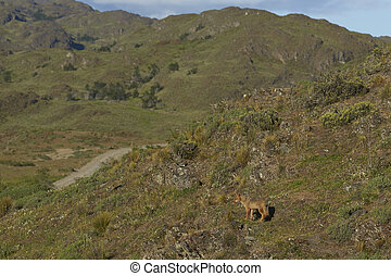 South American Grey Fox (Lycalopex griseus) on a sunny...