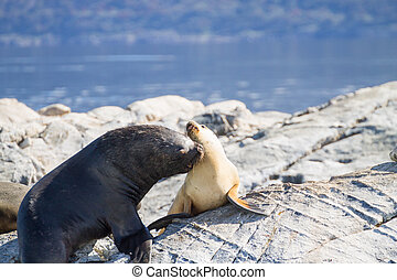South American sea lion colony on Beagle channel