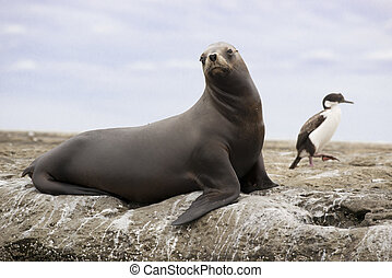 South American Sea Lion - Female of south american sea lion ...