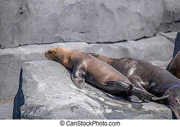 South American Sea Lion or Otaria flavescens