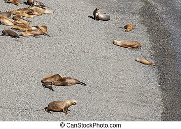 Colony Of South American Sea Lion On The Beach - Otaria flavescens - Punta Loma Nature Reserve - Puerto Madryn - Argentina