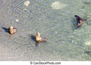 South American Sea Lions in Golfo Nuevo - Punta Loma Nature Reserve - Puerto Madryn - Argentina - Otaria Flavescens