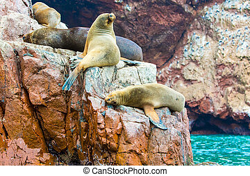 South American Sea lions relaxing on rocks of Ballestas Islands in Paracas National park, Peru. Flora and fauna