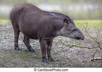 South american Tapir (Tapirus terrestris) can be found near water in the Amazon Rainforest and River Basin in South America