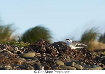 South American Tern (Sterna hirundinacea) on the coast of...