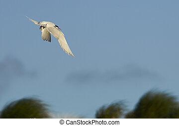 South American Tern (Sterna hirundinacea) in flight on the...