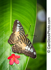 South Asian Clipper butterfly