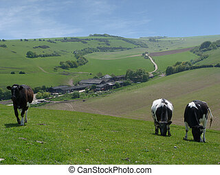 South Downs Ouse Valley - Cows withfarm in background in the...