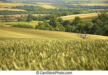 South Downs wheat field