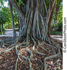south Florida Banyan Tree - a banyan tree in a park in south...
