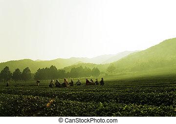 South Korea beautiful Boseong Green Tea Field