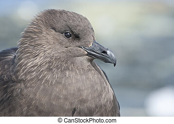 South Polar Skua portrait sitting on the rock islands of the Antarctic summer.