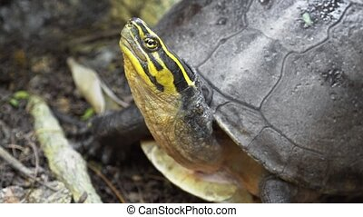 Southeast Asian Box Turtle Posing for Camera - Solitary, ...