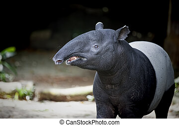 Southeast Asian Tapir in the Malaysian wilderness