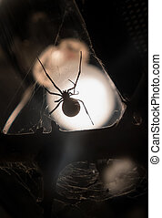 Southern black widow - poisonous spider