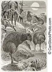 Southern Brown Kiwi old illustration (Apteryx australis)....