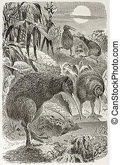 Southern Brown Kiwi old illustration (Apteryx australis)....