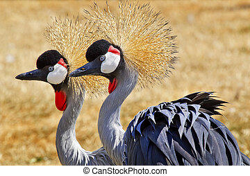 Southern Crowned Cranes Balearica Regulorum