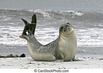 Southern elephant seal (Mirounga leonina) - Young southern...