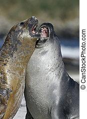 Southern elephant seal, Mirounga leonina, mammals on beach,...